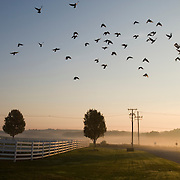20061004 - Grafton, MA --   A flock of birds flies over the white fence that surrounds the Horse Paddocks at the Tufts University Cummings School of Veterinary Medicine's Hospital for Large Animals at sunrise on October 4, 2006. (Melody Ko/Tufts University)