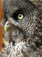 Grey owl, Alaska
