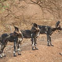 Wild Dogs in Samburu National Reserve