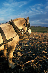 Team of two draft horses prepared to haul wagon load of fresh harvested yellow feed corn.