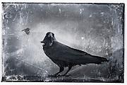 Profile of a black raven<br /> <br /> Prints: http://society6.com/DirkWuestenhagenImagery