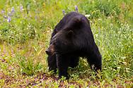 American black bear (Ursus americanus)<br /> CANADA: British Columbia (Stikine Region)<br /> along Alaska Highway<br /> 18-July-2012<br /> J.C. Abbott &amp; K.K. Abbott