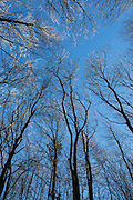 Looking up at winter trees in Tring Woods, Herts