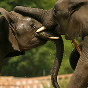 Elephants playing in Warsaw Zoo, Poland