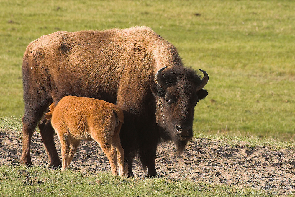 An American bison calf (Bison bison) nurses in Yellowstone National Park, Wyoming. The American bison is also commonly known as the American buffalo.