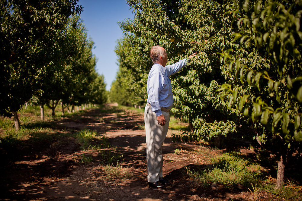 Kent Romney is seen on his peach orchard in Colonia Juarez, Mexico in July 2011. United States Presidential candidate Mitt Romney's family migrated to Mexico over 100 years ago after being granted asylum from Mexican President Porfirio Diaz after they had been pursued by the U.S. authorities for polygamy. ..(Romney is currently running for the Republican nomination.)