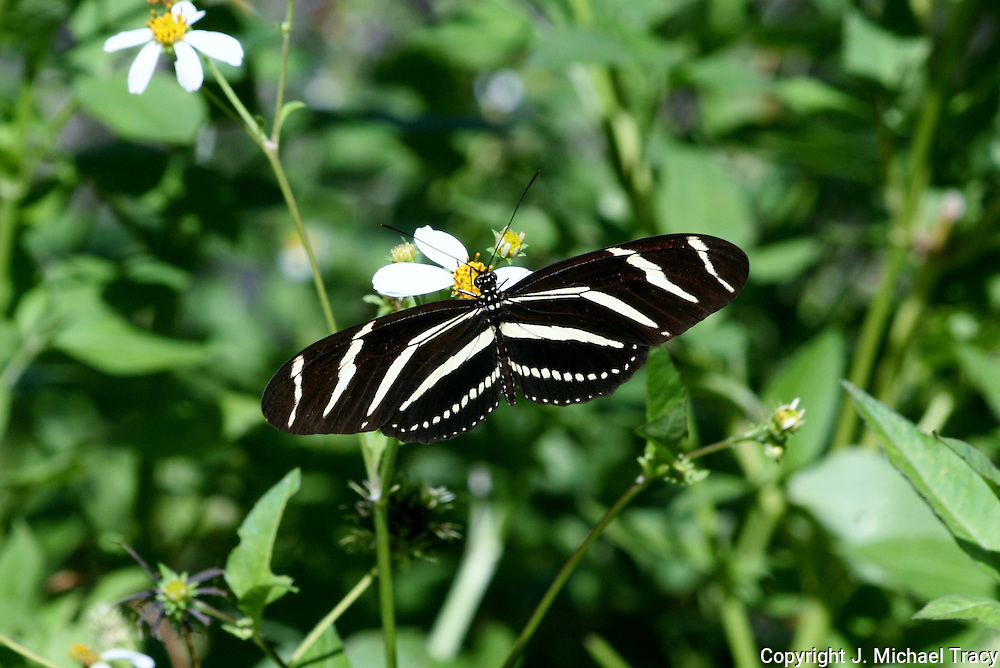 A Georgia, Zebra Longwinged Butterfly feasts on the nectar of Jekyll Island wildflowers.