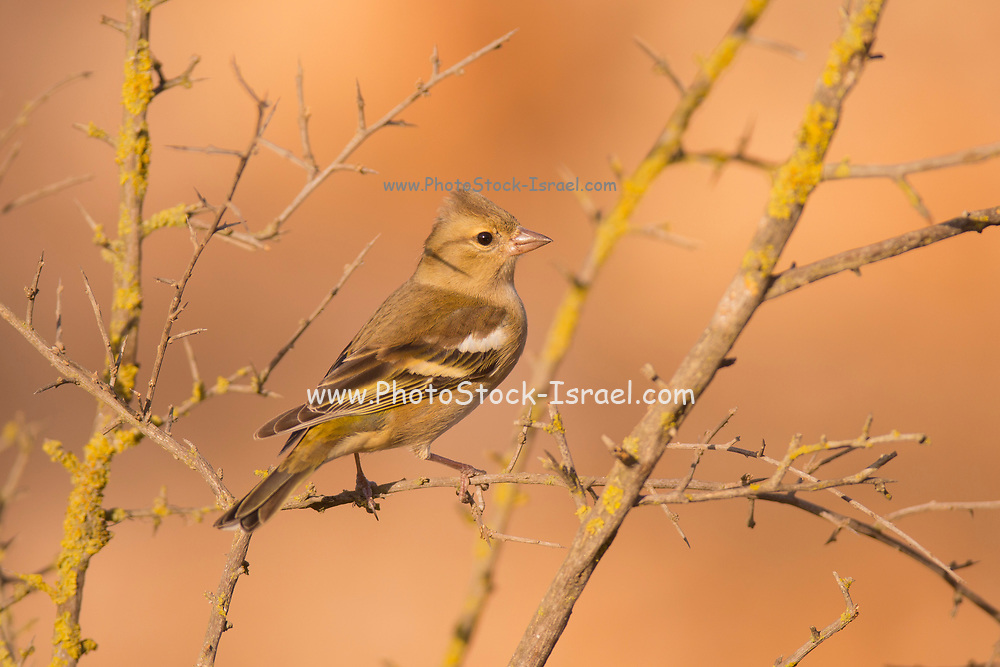 Female common chaffinch (Fringilla coelebs) perched on a branch. Chaffinches are partial migratory birds that eat mainly seeds. They are found in gardens and woodlands all over Europe. Photographed in Israel in November