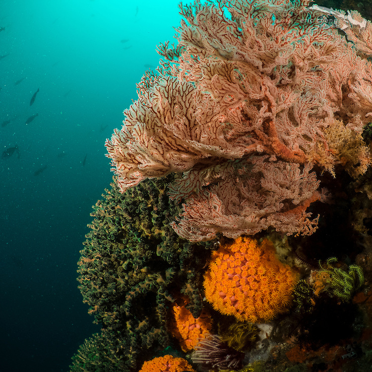 Colorful gorgonian, soft corals, and cup corals in a reef on a wall. Baleh, Komodo National Park, Indonesia.