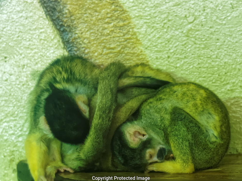 A curled up group of sleeping squirrel monkeys.
