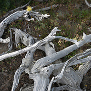 An electric yellow piece of lichen defies a dry summer, clinging to the bones of a dead tree. Road to Obstruction Point, Olympic National Park.