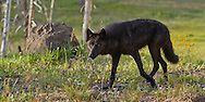Black wolves are the result of wolf-domestic dog hybridization and are common in Canada and the United States. Currently, about half of the wolves in Yellowstone National Park are black in color.