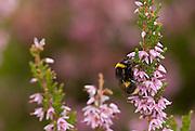 A Bumblebee feeding on Heather, Curbar, Peak District