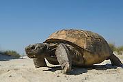 Gopher Tortoise (Gopherus polyphemus)<br /> The Orianne Indigo Snake Preserve<br /> Telfair County. Georgia<br /> USA<br /> Threatened species in Georgia<br /> HABITAT &amp; RANGE: Longleaf pine &amp; oak forests &amp; sandhills &amp; areas of good ground cover. Southeast USA