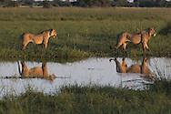 Reflection of two African lions, Duba Plains, Botswana