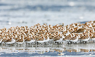 Western Sandpipers (Caldris mauri) resting at Hartney Bay in Cordova in Southcentral Alaska. Spring. Morning.