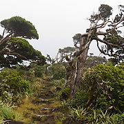 Harsh wind has twisted trees on the Pouakai Track, Taranaki / Mount Egmont National Park, New Zealand, North Island. Published full page in up to 800 DICK'S Sporting Goods stores in 2010.