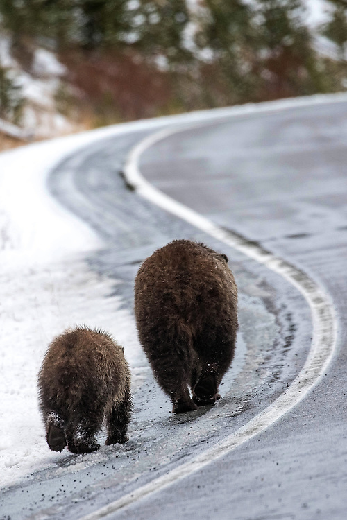 As Yellowstone closes for the season, the grizzly sow, Raspberry, and her cub-of-the-year, travel towards their winter den in the high country. The pair will stay in their den for six months, returning in spring to the lake country they call home.