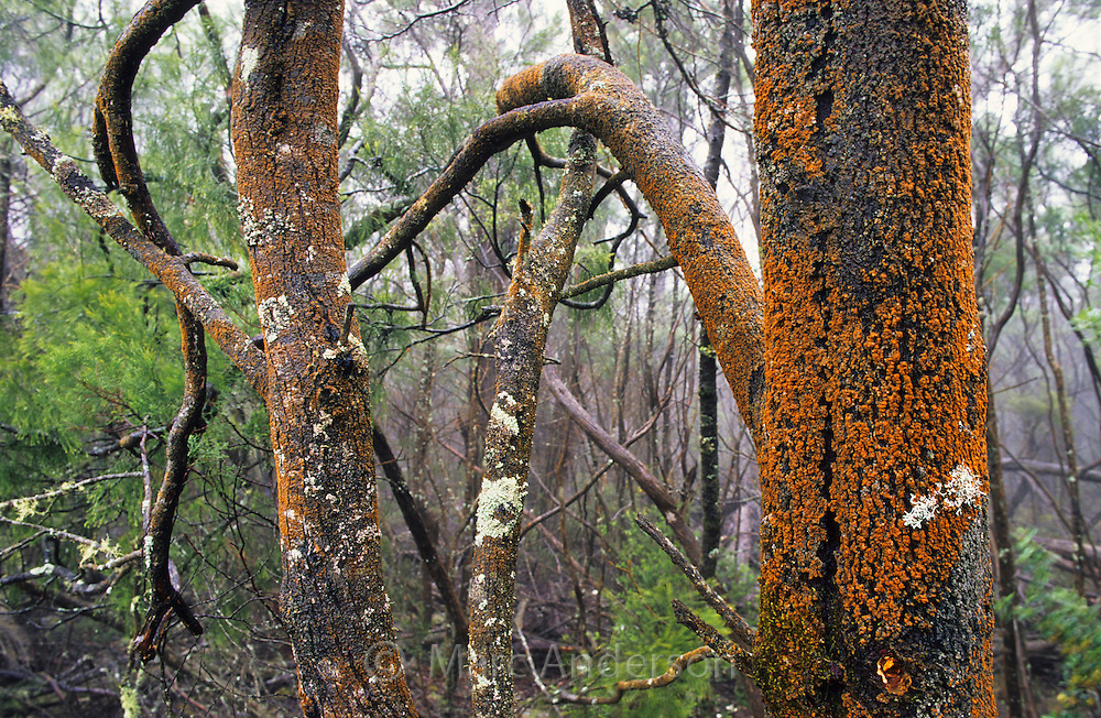 Lichen on mossy trees in a damp forest, Grampians National Park, Australia.