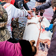 Last 11 of October 2016 was the last time Hunters of Inukjuak went for belugas. They came back with 4 and share the meat with all the village.