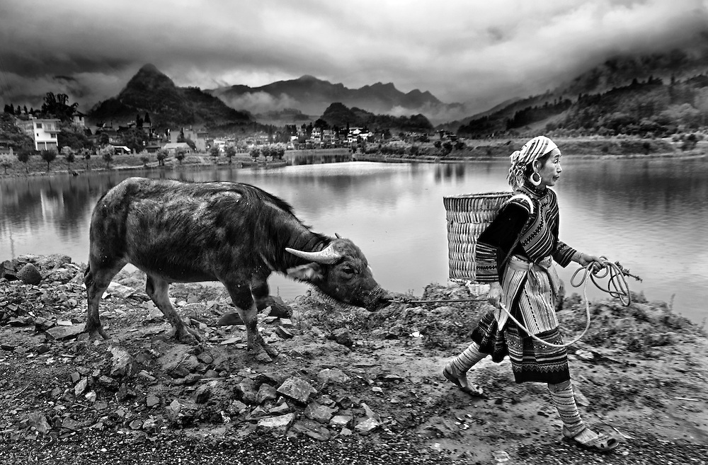 A Flower Hmong woman takes her buffalo to the Bac Ha market, Vietnam.