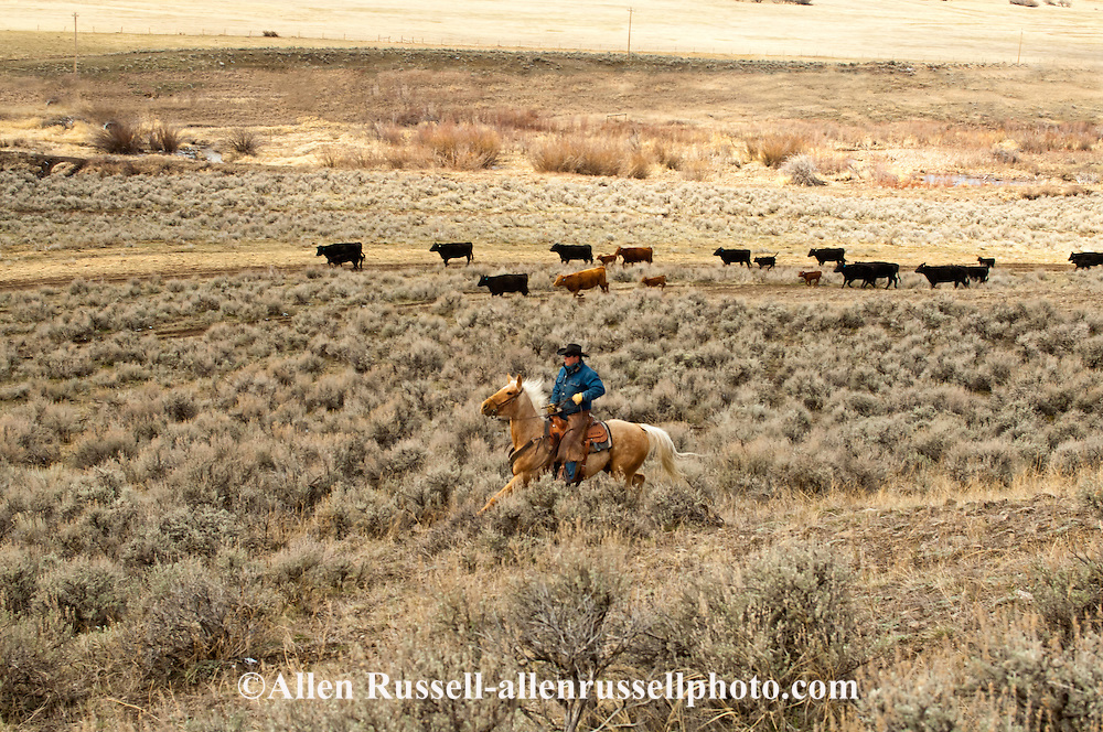 Cowboys gather cows and calves for branding, Wilsall, Montana, Shields Valley.