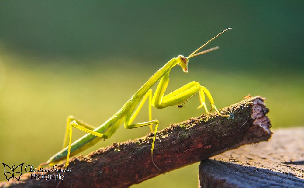 Praying Mantis Image for sale | Christina Swartz Photography