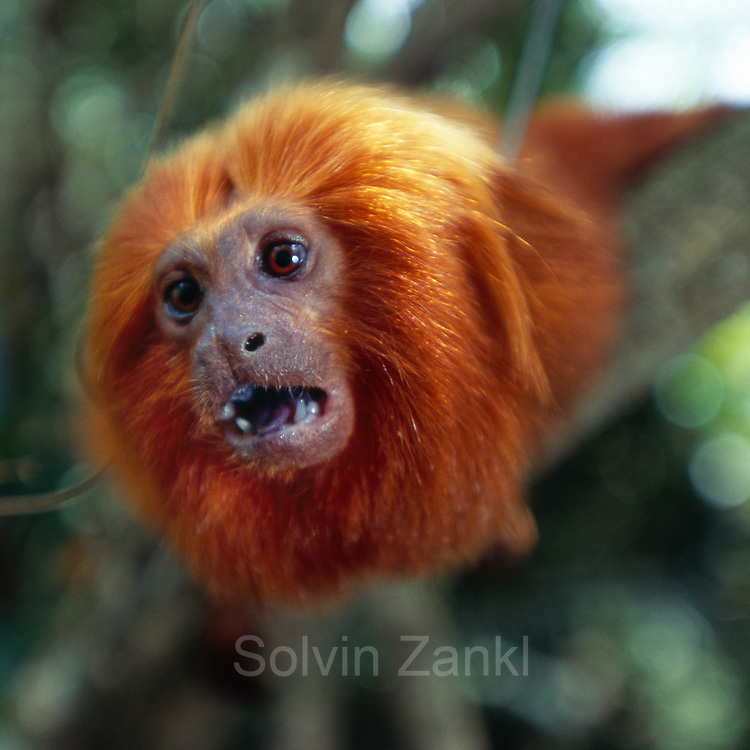 Die nackte Gesichtshaut des Löwenäffchens ist von der namensgebenden, goldenen Mähne umgeben. | The bare skin of the face of a Golden Lion Tamarin is surrounded by a remarkable mane from which the name of this species derived.