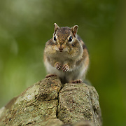 A siberian chipmunk ready to dart off to collect some more nuts in Hokkaido, Japan.