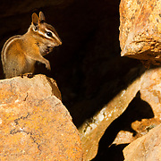 An Allen's Chipmunk (Tamias senex) — and its shadow — feeds in the Sequoia National Forest near Kings Canyon National Park, California. Allen's Chipmunks, also known as Large Mountain Chipmunks or Shadow Chipmunks, are found from the coast to the mountains, though only the mountain chipmunks hibernate in the winter. Allen's Chipmunks primarily feed on fungi.