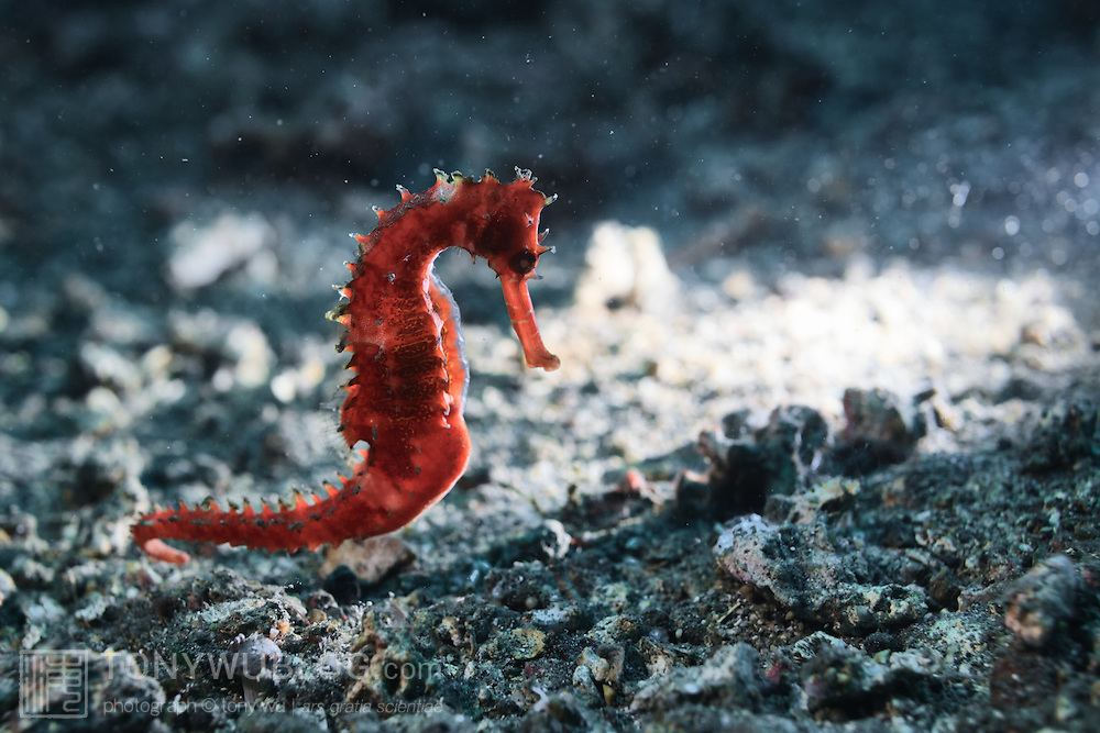 Thorny seahorse hippocampus histrix lembeh strait for 1041 the fish