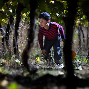 Armando Hernandez, 4, sneaks around the grape plants as he follows his mother as she works as a seasonal worker. Oregon's grape harvest is under way at the Eyrie Vinyards in Dundee where pinot noir is being picked.