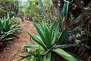 356201-1030B ~ Copyright:  George H. H. Huey ~ Hiker exploring the Yawzi Point Trail with large agaves and cactus, southeast coast of St. John Island, U.S. Virgin Islands National Park. Caribbean. Release #127