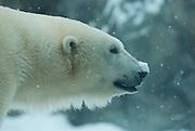 Captive Polar Bear at the Anchorage Zoo