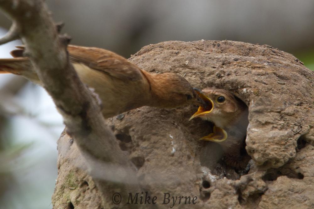 Rufous Honero (Furnarius rufus) feeds her young near Araras Eco Lodge (Pantanal, Mato Grosso, Brazil)