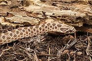 Western Hognose Snake (Heterodon nasicus)<br /> captive bred individual<br /> 21-Oct-2015<br /> J.C. Abbott &amp; K.K. Abbott