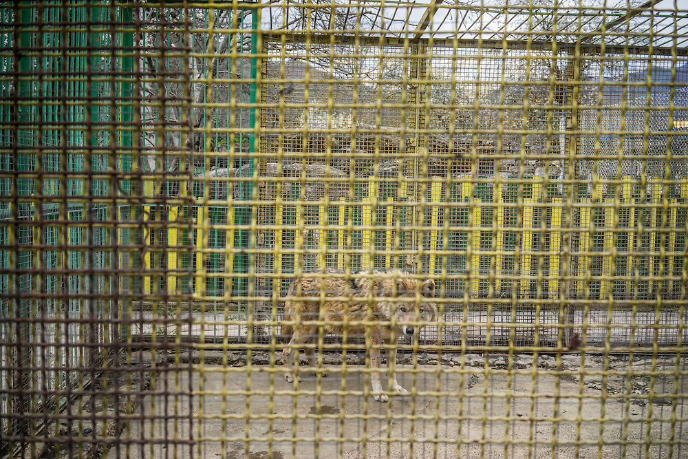 VANK, NAGORNO-KARABAKH - APRIL 17: A wolf stands in a cage in a small zoo on April 18, 2015 in Vank, Nagorno-Karabakh. Since signing a ceasefire in a war with Azerbaijan in 1994, Nagorno-Karabakh, officially part of Azerbaijan, has functioned as a self-declared independent republic and de facto part of Armenia, with hostilities along the line of contact between Nagorno-Karabakh and Azerbaijan occasionally flaring up and causing casualties. (Photo by Brendan Hoffman/Getty Images) *** Local Caption ***