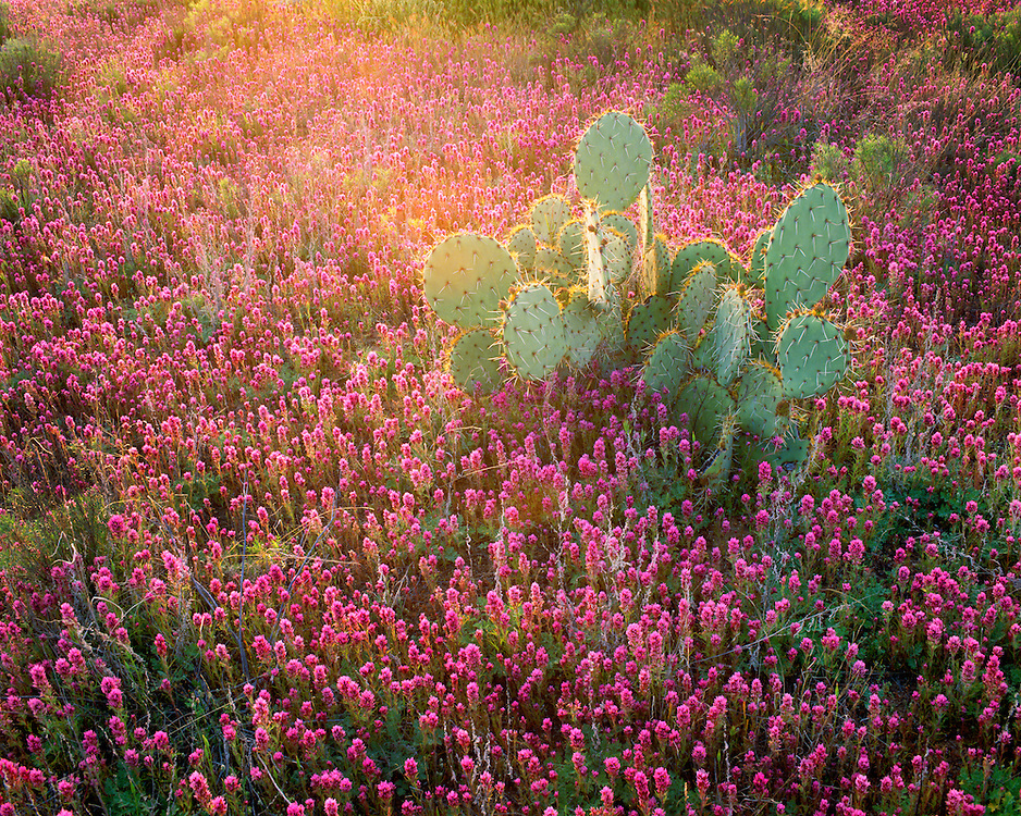 0182-1007D  ~  Copyright:  George H. H. Huey  ~  Prickly pear cactus [Optunia phaecantha] and owl clover at sunrise.  Springtime.  Foothills of the Santa Catalina Mountains.  Pima County, Arizona.