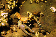 Rusty Crayfish (with Zebra Mussels in background)<br />
