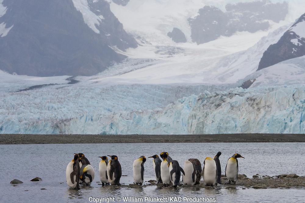 King Penguin (Aptenodytes patagonicus), Ross Glacier, Royal Bay, South Georgia Island