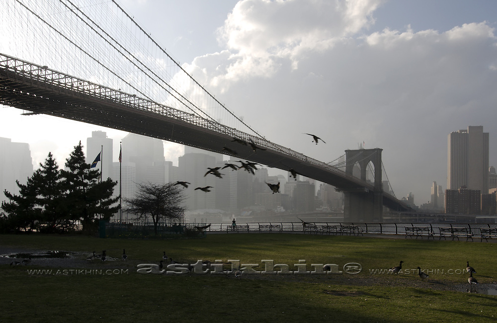 Ducks landing in Brooklyn Bridge Park