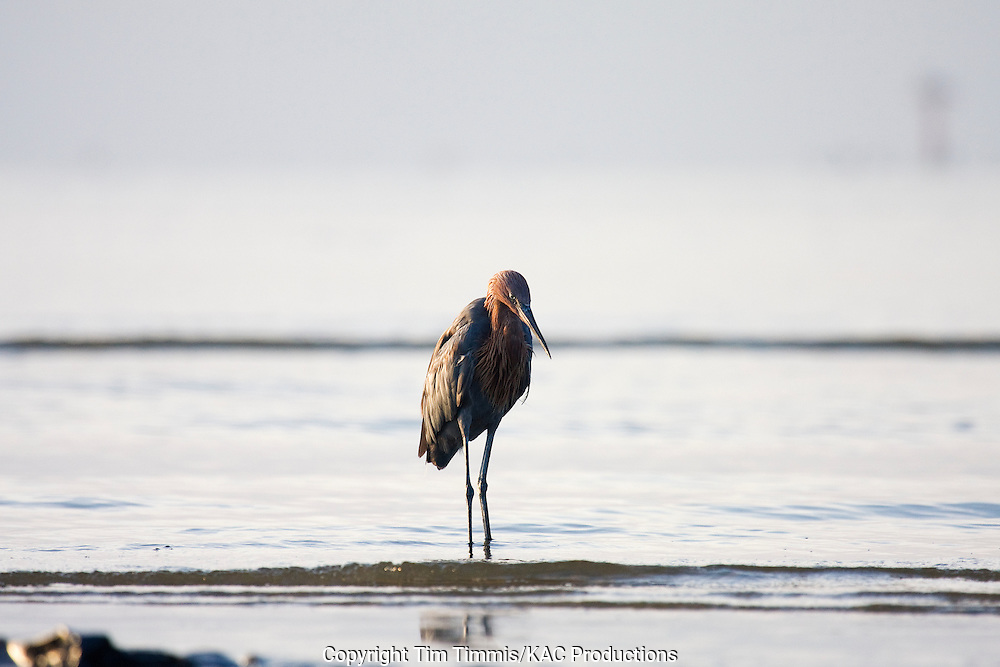 Reddish Egret, Egretta rufescens, Bolivar Flats, Texas gulf coast, standing in water with waves coming in