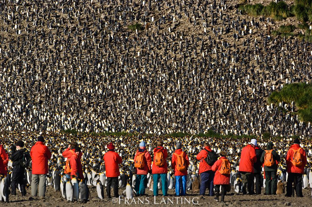 Tourists at edge of king penguin colony, Aptenodytes patagonicus, South Georgia Island