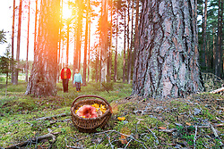 Closeup of wicker basket with mushrooms in forest, Estonia. Two people on background.