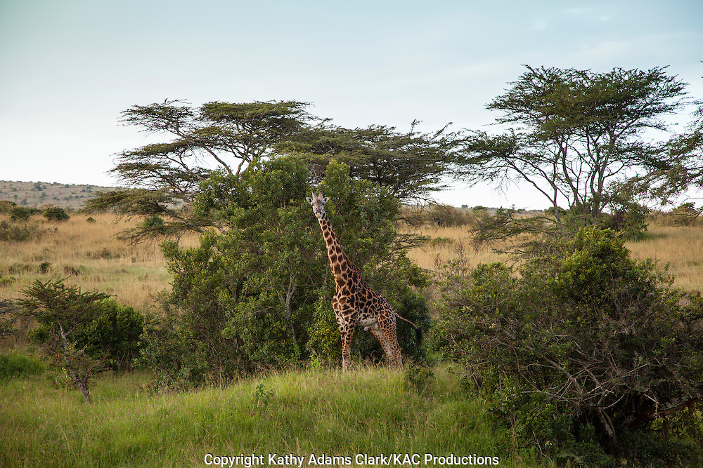 Maasai giraffe, Giraffe camelopardalis tippelskirchi, Serengeti National Park, Tanzania, Africa.