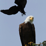 An American Crow (Corvus brachyrhynchos) dives to attack a Bald Eagle (Haliaeetus leucocephalus) perched at the top of a tree in Kirkland, Washington. Crows are often seen chasing hawks or eagles in flight, or repeatedly diving at them when they perched, a practice known as mobbing. Research is inconclusive, but scientists think this harassment helps to force the birds of prey to hunt elsewhere, ultimately reducing the threat to the crows and lowering competition for food..