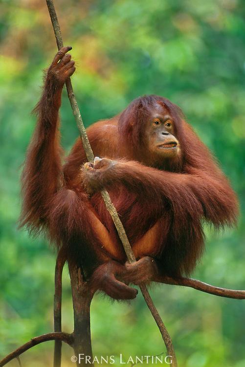 Bornean orangutan female, Pongo pygmaeus, Sabah, Borneo