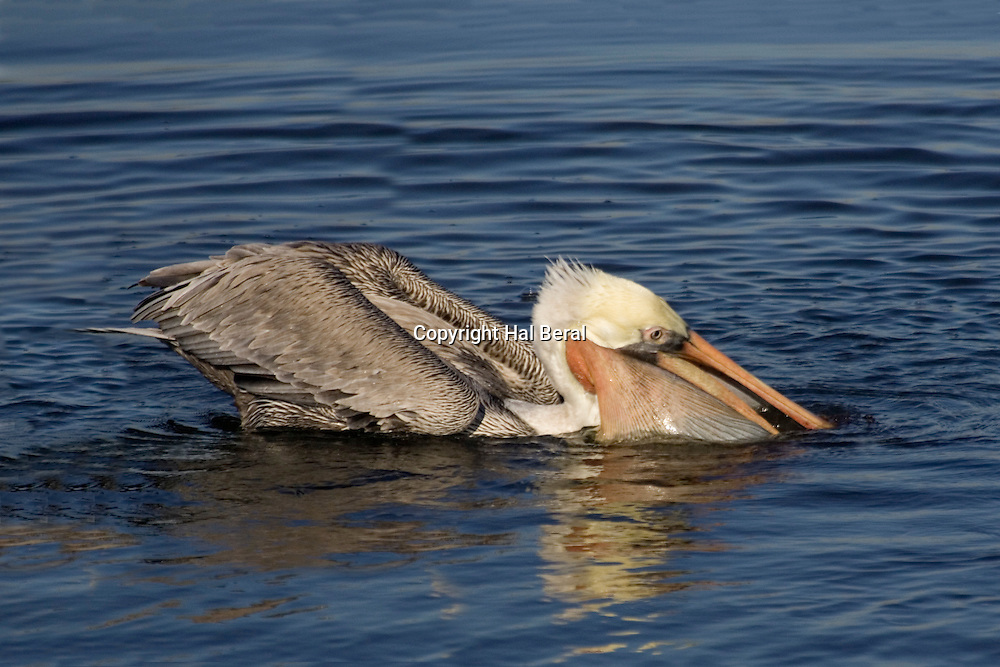 Brown Pelican with pouch full of weeds holding lots of small fish.(Pelecanus occidentalis).Bolsa Chica Wetllands, California