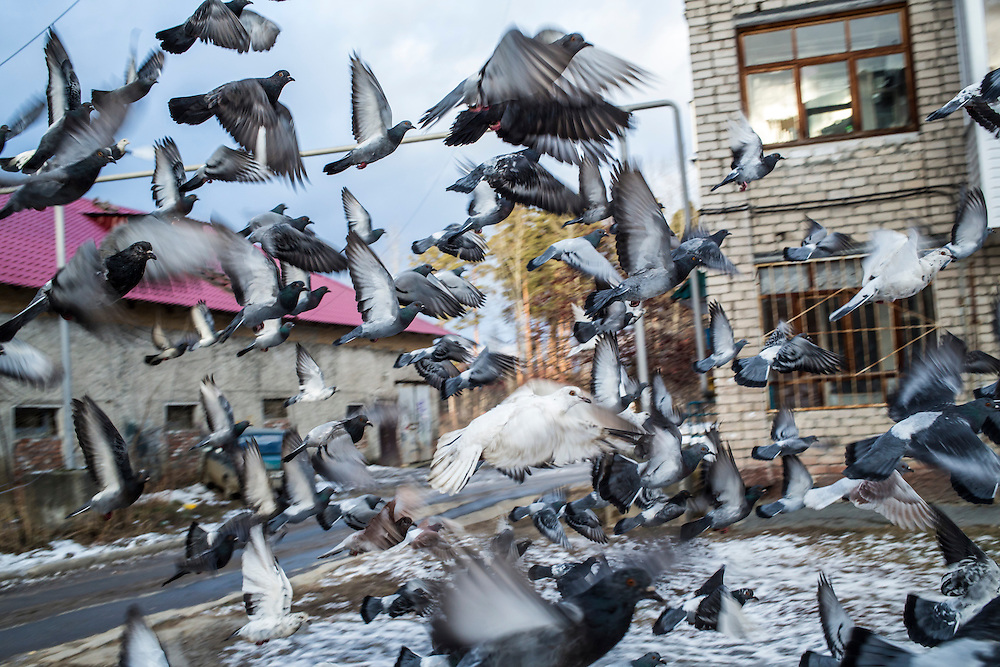 A flock of pigeons takes off after being startled on Saturday, November 30, 2013 in Asbest, Russia.