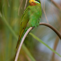One blue-cheeked bee-eater (Merops persicus) perched on a grass reed.
